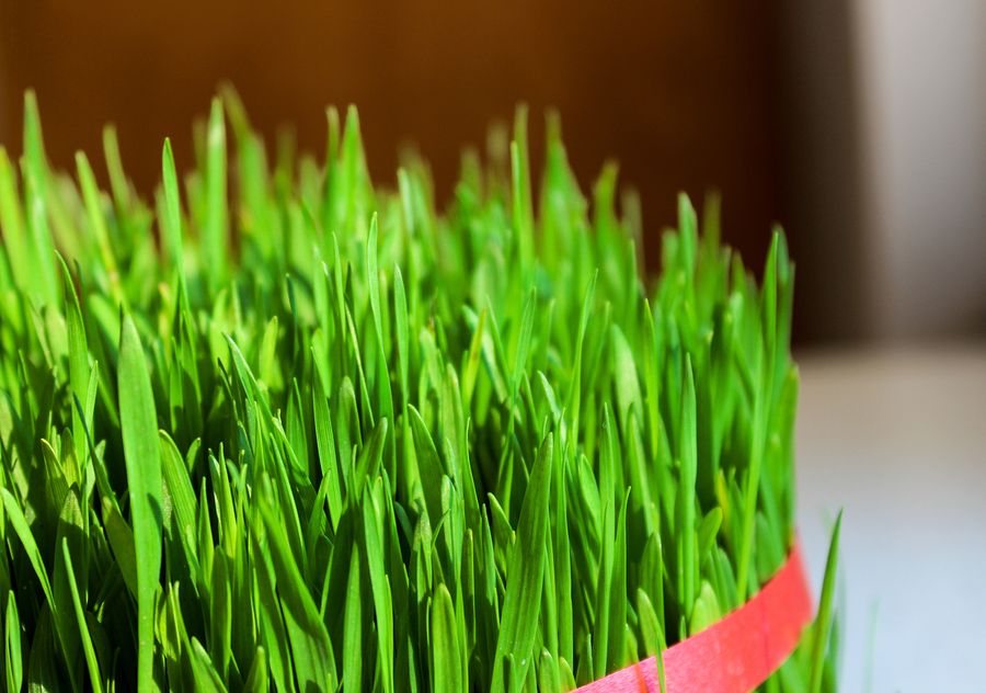 Tied up thick growing vibrant sunlit wheatgrass