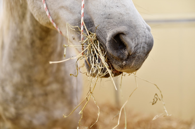 Closeup shot with the mouth of a white horse eating hay inside a pen