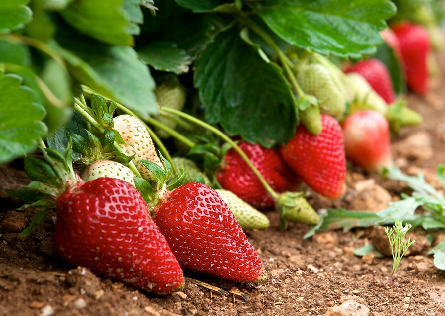 Fresh strawberries in blur natural green field background, fresh red strawberries, red strawberry, summer background, fresh fruits, strawberries field, crop, early crop in Malta