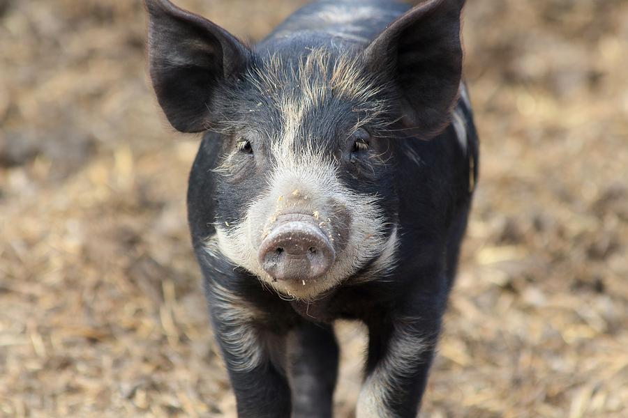 Trichinella Facts For Raw Feeders Feeding Pork And Wild Hog