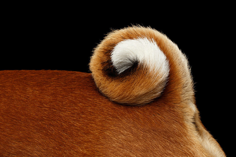 Close-up White with Red Basenji Dog Curl Tail, on Isolated Black Background