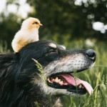 Raising Chickens To Feed Your Dogs (and Cats)
