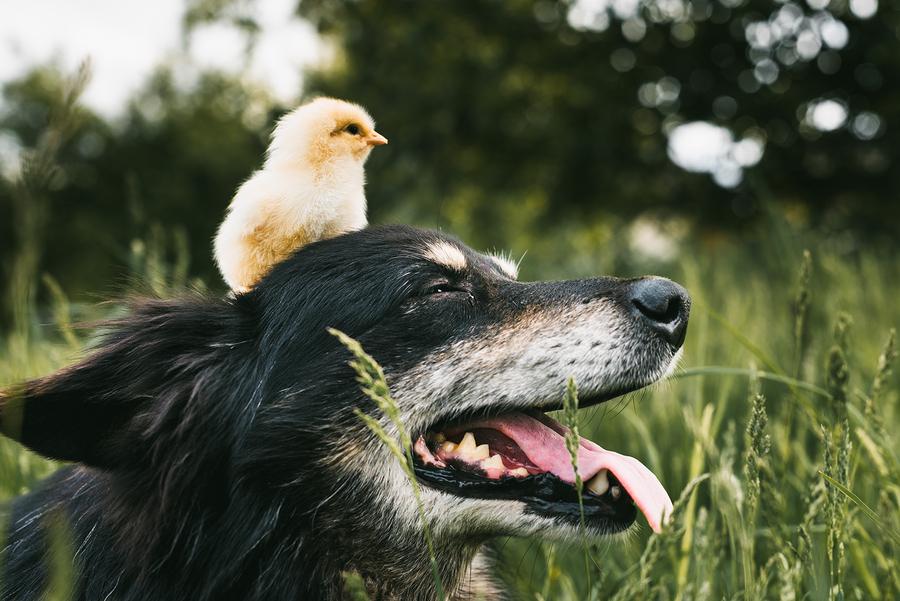 Raising Chickens: Supplementing A Chicken's Diet