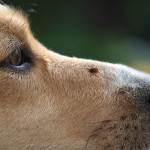 All-Natural Tick Prevention For Your Dog