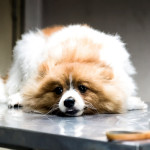 Anemia In Dogs: Supporting Healthy Blood Cell Counts