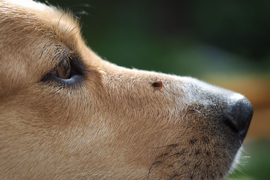 All Natural Tick Prevention For Your Dog Whitney Living